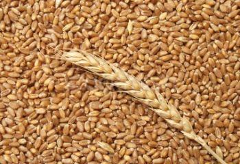 Семена озимой пшеницы,ячменя,тритикале